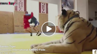 Real Tiger on Sambo Mat